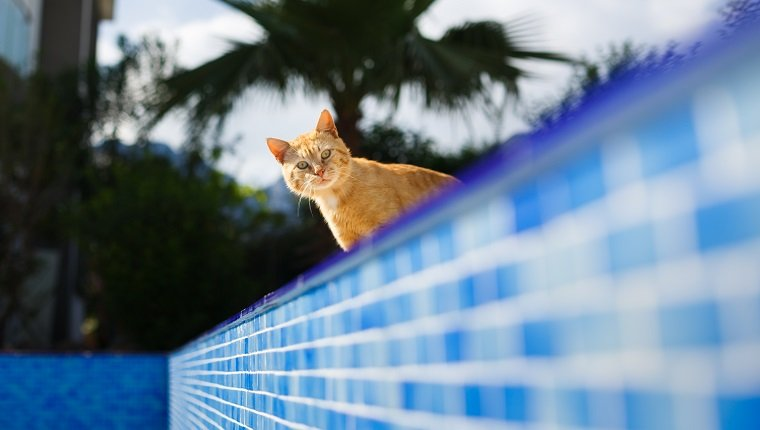 Frightened red cat looks inside the empty pool
