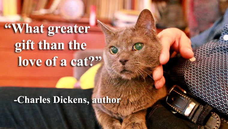 Blue russian cat relaxing, lying and enjoying being cuddled, thinking about famous quotes about cats. Quote from Charles Dickens.