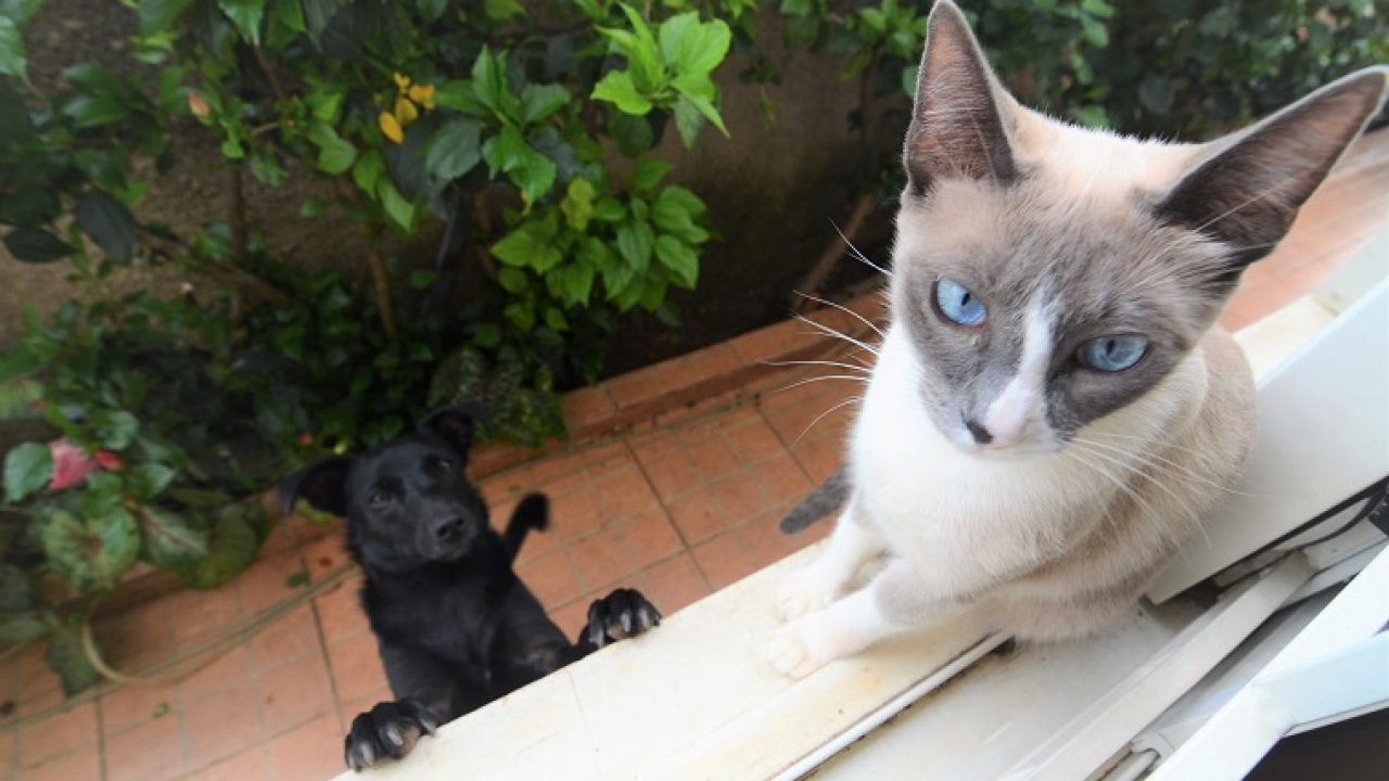 6 Cat Breeds That Behave A Lot Like Dogs Cattime