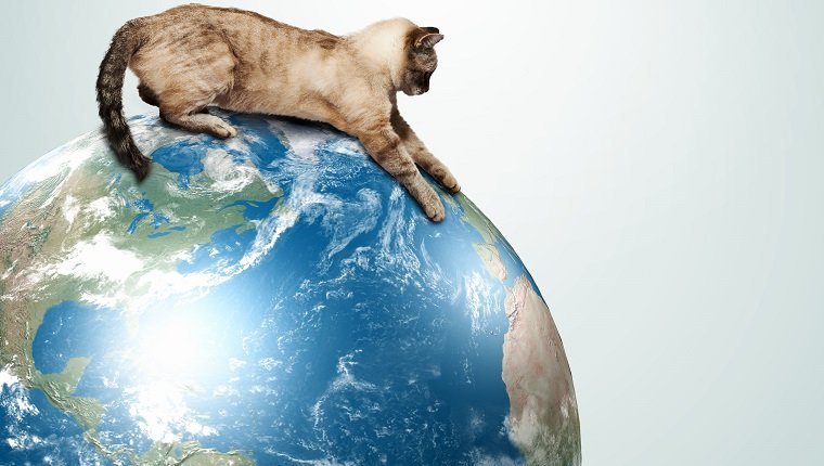 Image of siamese cat playing with globe.