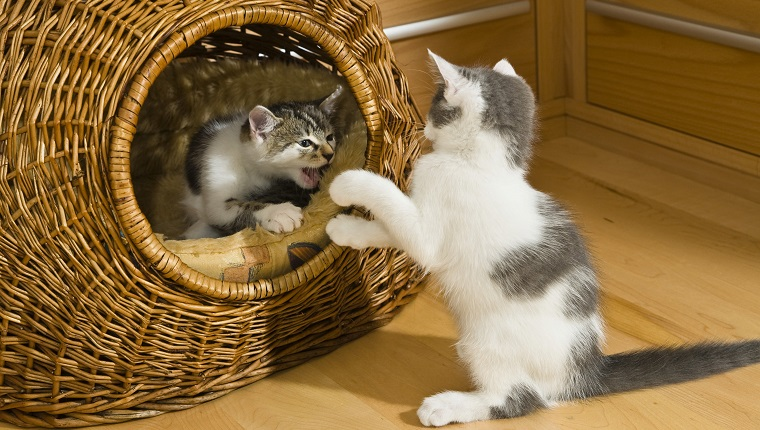 Kittens playing in cat basket