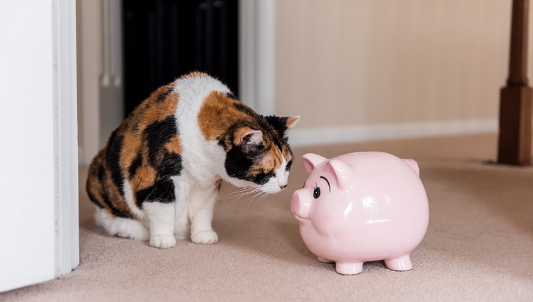 Funny cute female calico cat sitting on carpet in home room inside house, looking at pink pig piggy bank toy