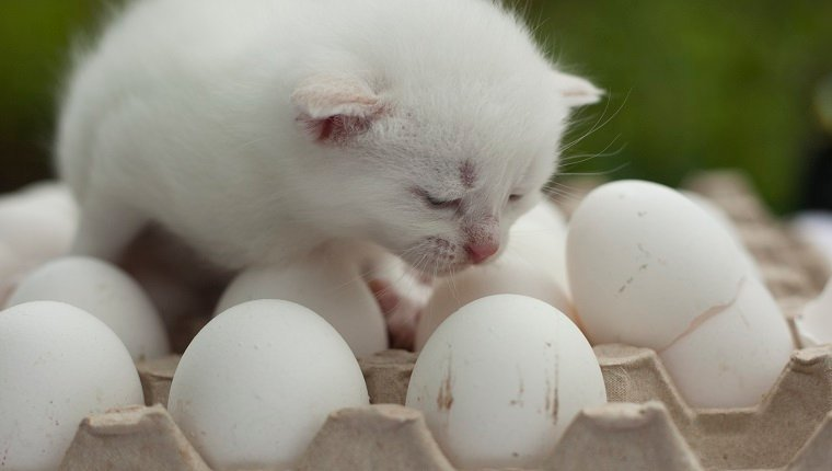 white kitten cry on the egg with egg shell lay beside close up photo