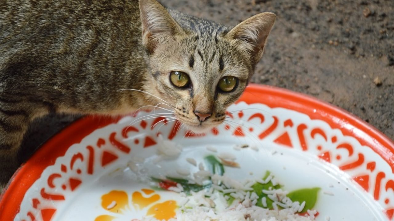 Can Cats Eat Rice Is Rice Safe For Cats Cattime