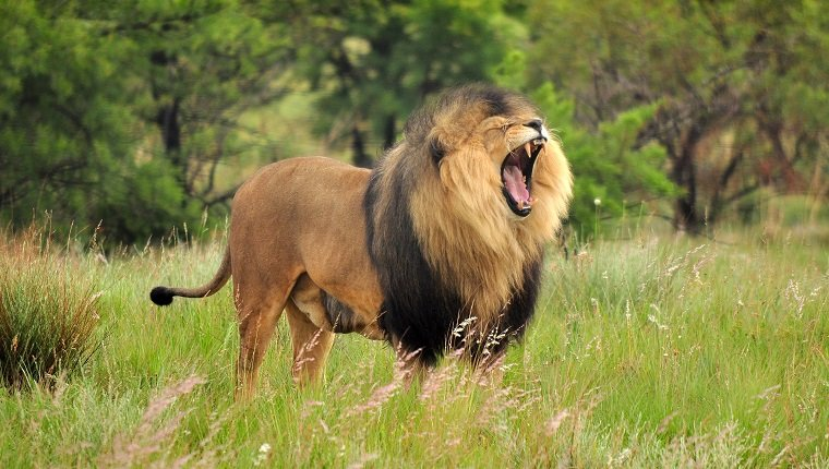 Close-Up Of Lion Roaring While Standing On Grass Field