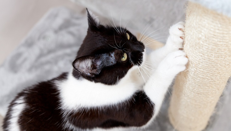 black and white cat sharpen claws at scratching post