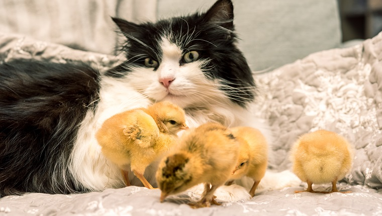 Cat and Baby Chicks Together on Sofa