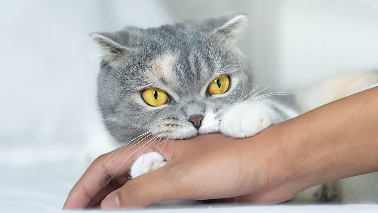 Cute Scottish fold cat biting a human hand while playing.