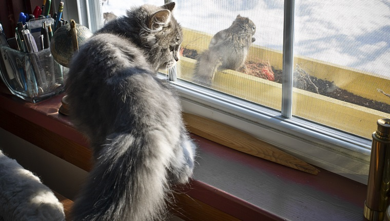 Kitten Watches a Squirrel Through a Window. Kitten is young, grey coloured and alert. Outside is snow and winter. Rural Nova Scotia, Canada Scene. Leica Camera Photograph.