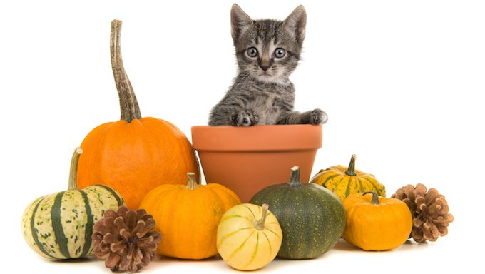 cat in flower pot surrounded by pumpkins
