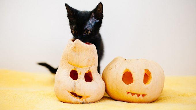 kitten next to jack-o-lanterns