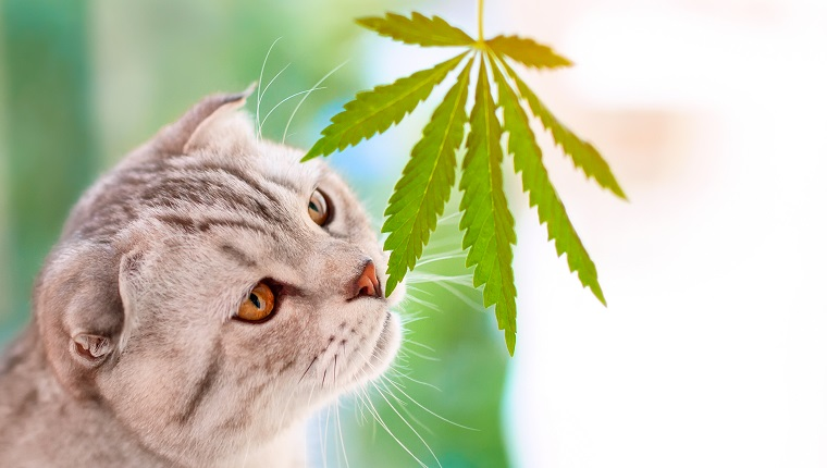 Portrait close-up on blurred background with leaf cannabis. Scottish fold cat sniffs green leaf of marijuana in hands