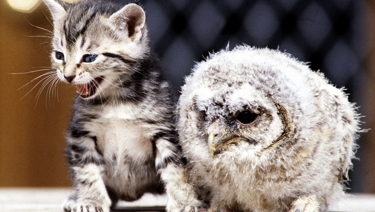 Four week old kitten with a baby tawny owl at Surrey Bird Rescue Centre at Chertsey June 1983.