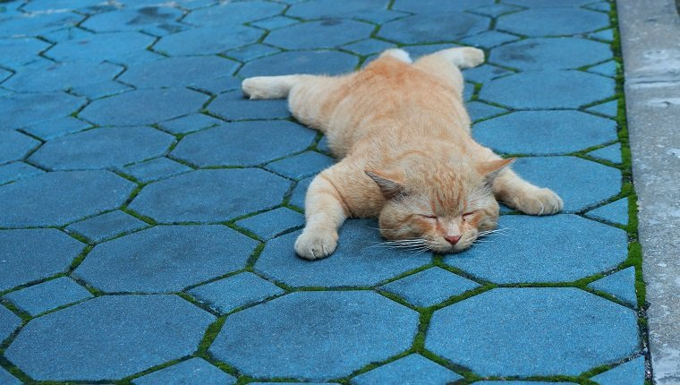 closeup image of a big ginger cat sleeping on blue pavement like a dog