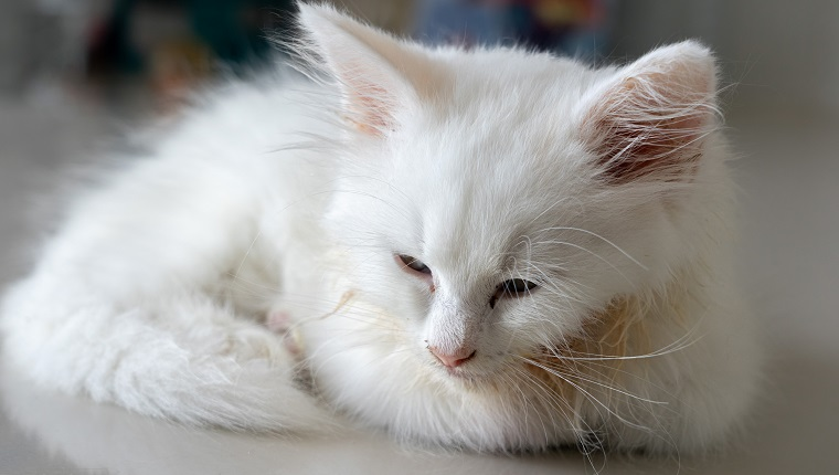 Sick little white kitten with feline panleukopenia lying on the floor with sad eyes and some vomit on her fluffy hair.