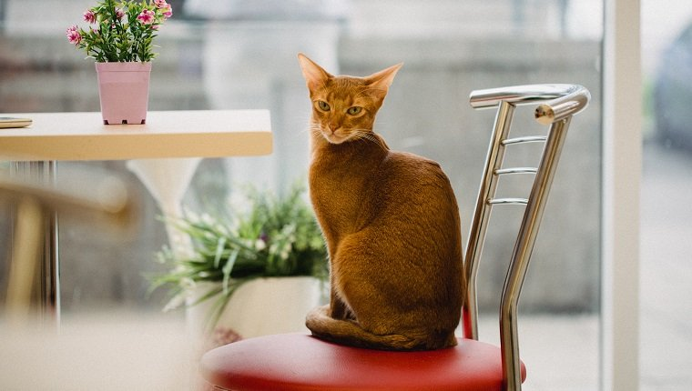 ginger Abyssinian cat is sitting on chair near the table and looking in camera. Warm toning image. Lifestyle pet concept.