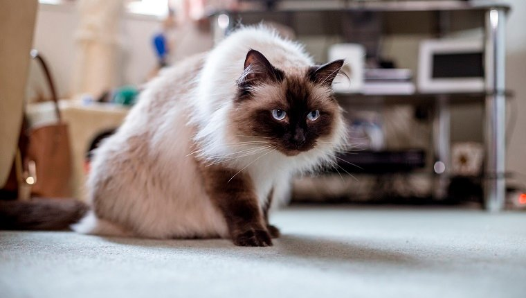 Himalayan house cat sitting on the living room floor looking ready to pounce