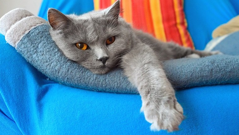 2-3 years old Gray Chartreux cat on sofa