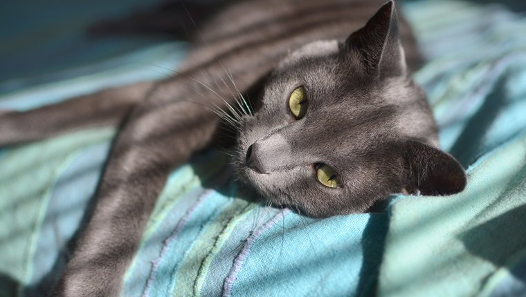 Russian blue cat laying on the bed in sunny morning.