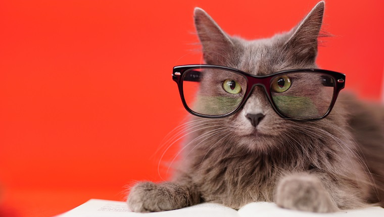 Close up portrait of a Nebelung cat leaning on an open book while wearing reading glasses. Isolated on red background.