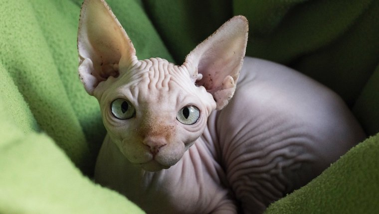 Portrait Of Sphynx Hairless Cat Relaxing On Green Towel