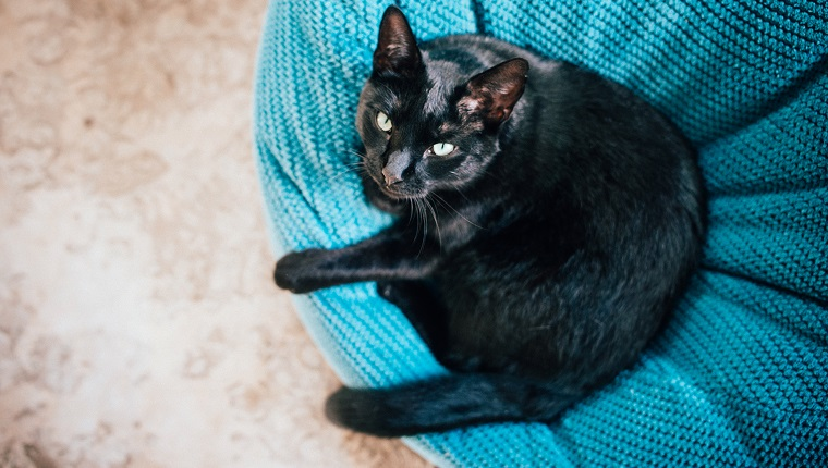 Black cat looking above, while relaxing on a big pillow.