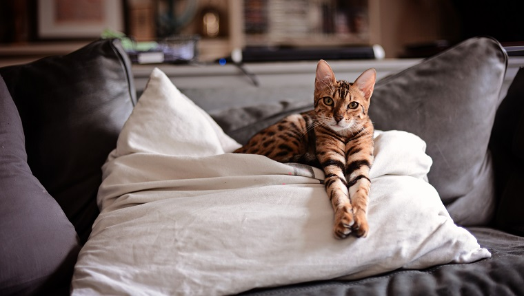 Brown striped Bengal cat/kitten with paws outstretched sitting on a cushion/pillow.