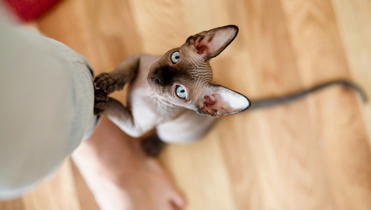 Sphynx kitten is standing on its hind legs and holding onto a woman's