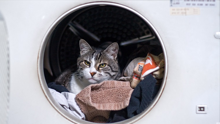 European short haired cat sitting on the laundry inside a washing machine, looking at the camera.