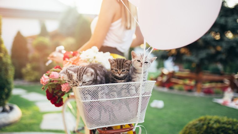 Beautiful attractive young woman carrying her little cute british shorthair kittens in bicycle basket.