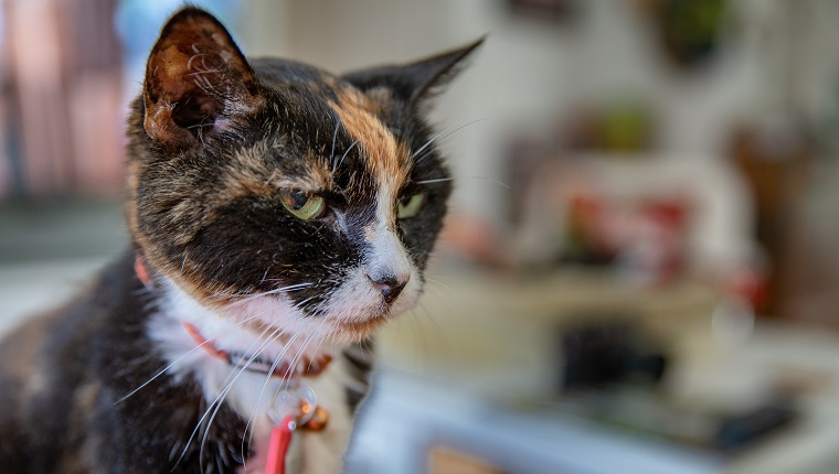 An adoption cat who has had the same owners / care takers for 20 years. She is very small, but in good health. She was living in Houston, and moved to the Florida Keys approximately 3 years ago.