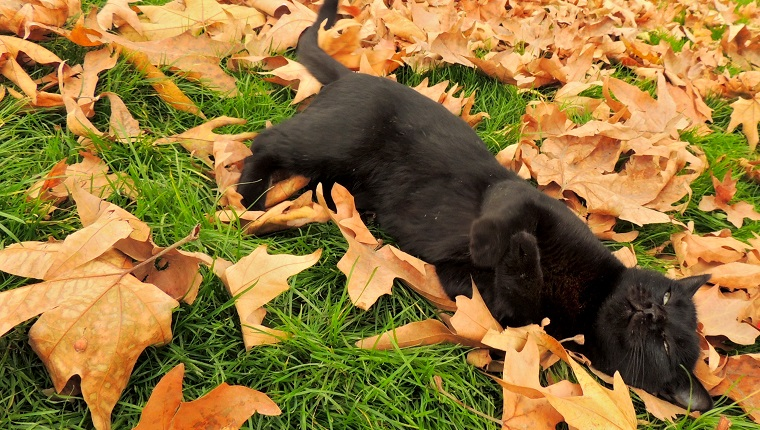 TEHRAN, Iran - A black cat playfully lays to rest on the grass where countless Autumn leaves have fallen as seasons change.