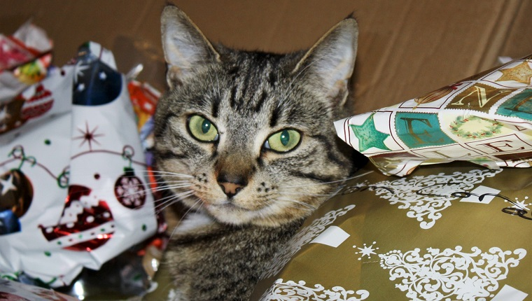 Cute cat looking at me while lying in discarded Christmas wrapping paper