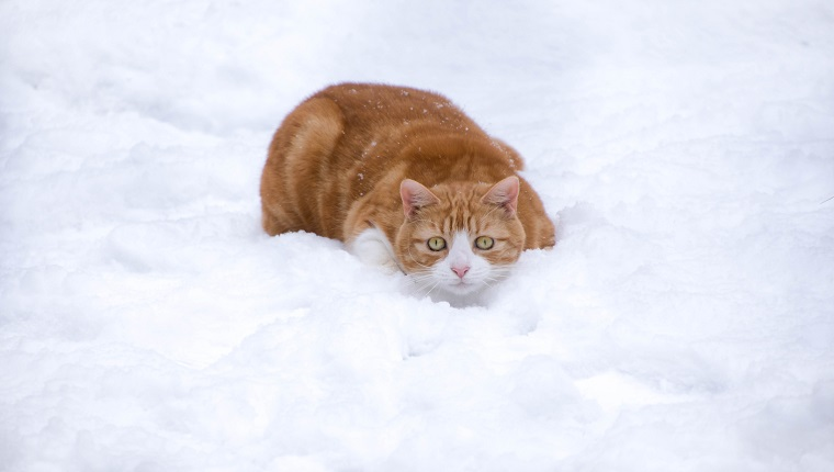Cat crouched in the snow