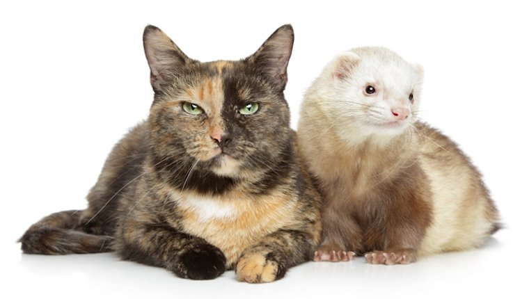 Cat and ferret together