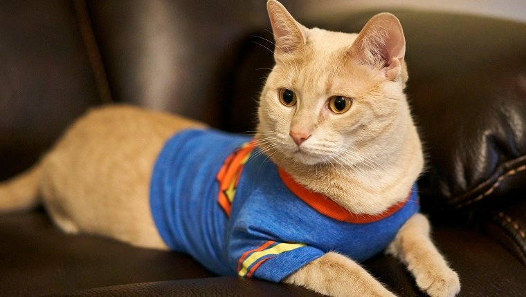 Cat in Superman T-shirt