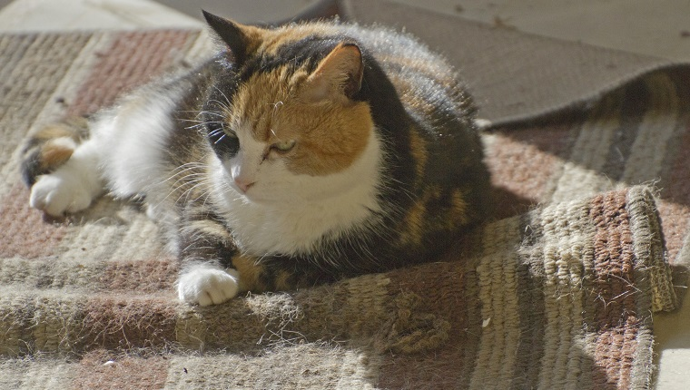 Close up of a beautiful, older calico cat resting in a sunny spot on a rumpled throw rug