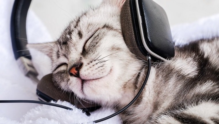 Domestic cat sleeping with headphones on