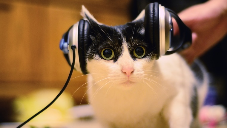 Cat listening to music, Taipei City, Taiwan.