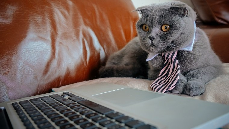 Grey Scottish Fold cat with a tie looking at a laptop screen