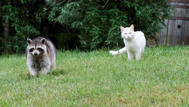 Wild raccoon and cat