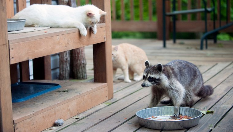 Cats and raccoons