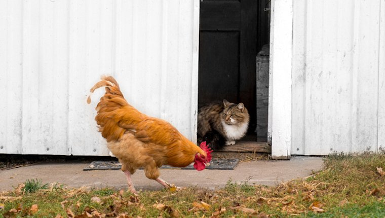 Cat looking at chicken