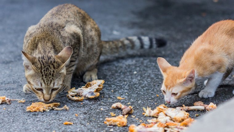Cats eating chicken on the sidewalk