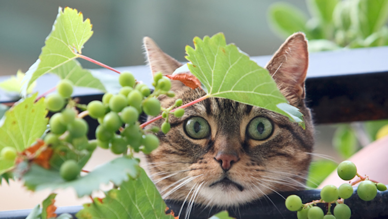 Cat and grapes