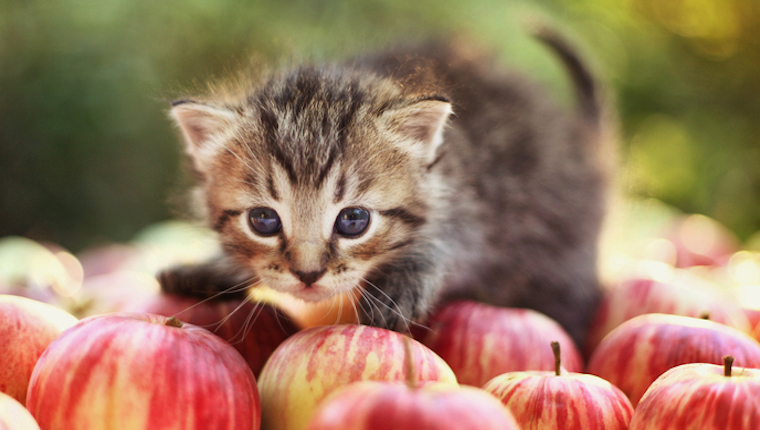 Kitten and apples
