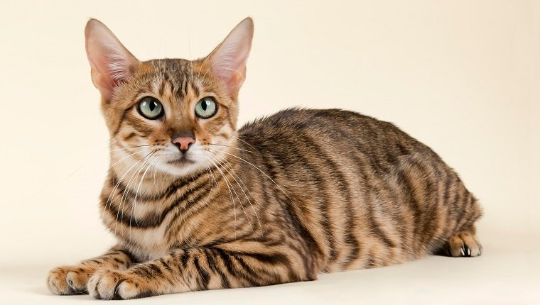 Toyger Mixed Cat Breed Pictures Characteristics Facts