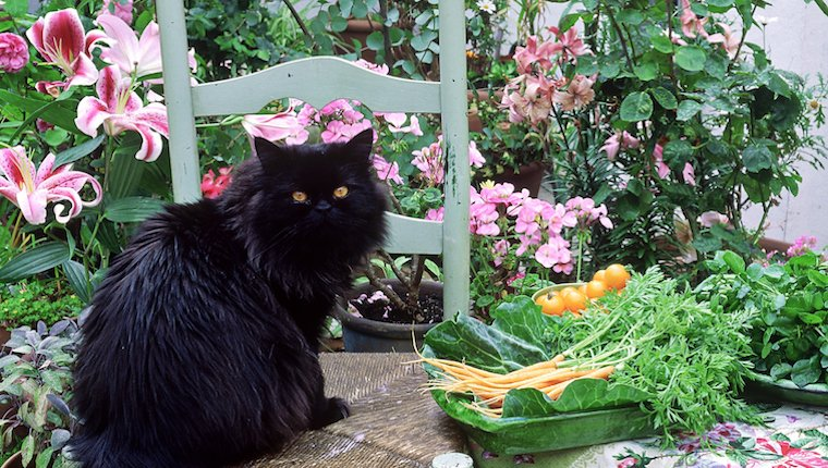 Cat and carrots