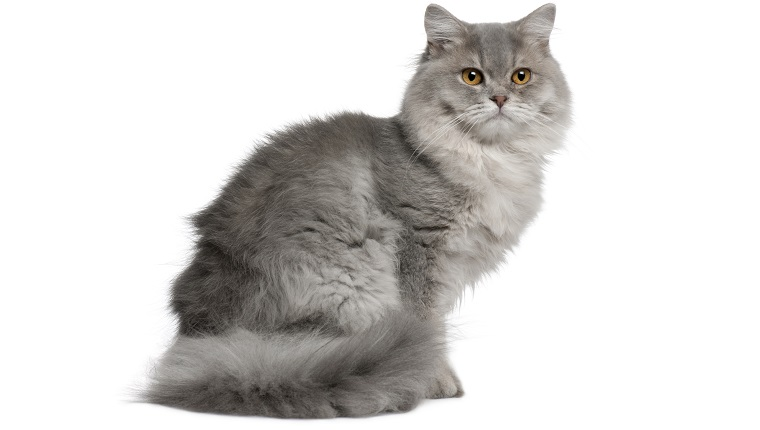 British Longhair Mixed Cat Breed Pictures Characteristics Facts