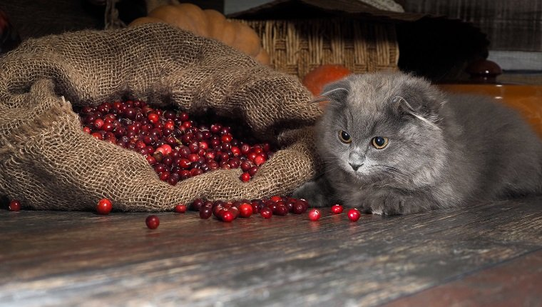 Bag berries cranberries timber in the pantry. Gray kitten playing with berriesBag berries cranberries timber in the pantry. Gray kitten playing with berries